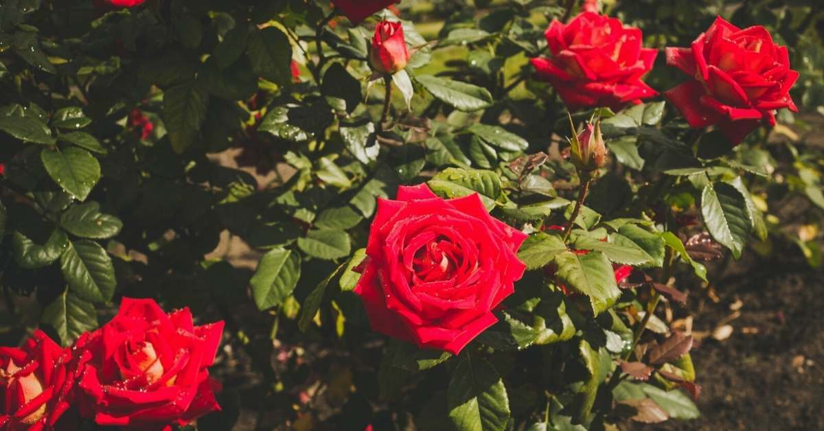 Rose Shrubs - All about sustainable and organic gardening tips and tricks. 2021 - Benefits of Rose Shrubs,shrub roses,shrub rose bush,what are the health benefits of rose hips,what are the health benefits of rose petals - https://organicgardeningeek.com/the-benefits-of-rose-shrubs/