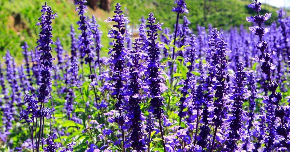 What to Plant with gerbera daisies - Salvia - gerbera daisy care https://organicgardeningeek.com