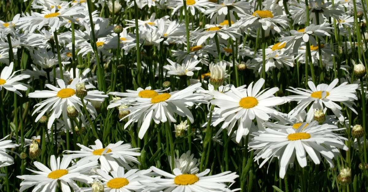What to Plant with gerbera daisies - Shasta daisies - gerbera daisy annual or perennial  https://organicgardeningeek.com