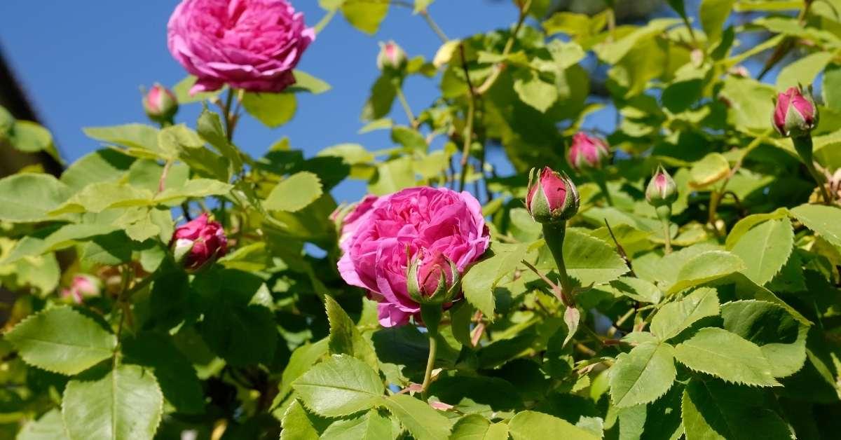 Simplicity Hedge Roses - Best Roses For Hedges uk https://organicgardeningeek.com