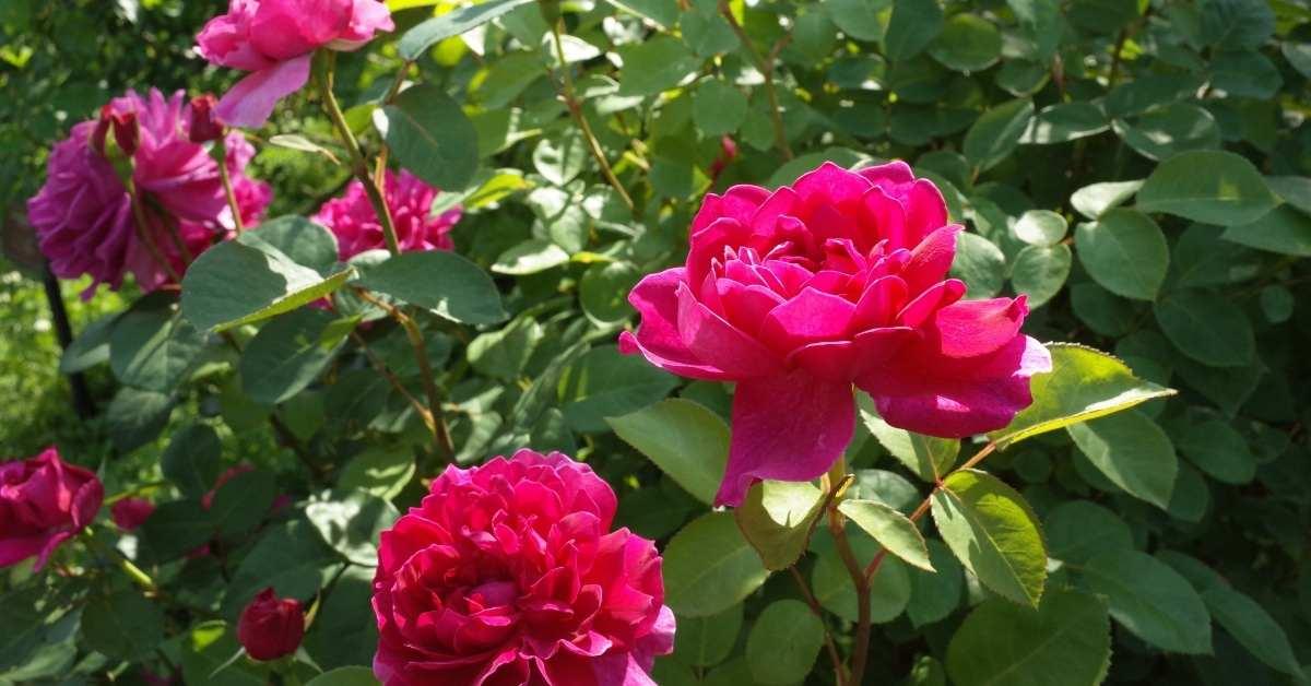 Sophy's Rose  https://organicgardeningeek.com