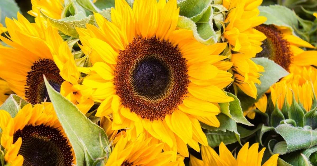 What to Plant with gerbera daisies - Sunflowers -pink gerbera daisy and yellow gerbera daisy https://organicgardeningeek.com