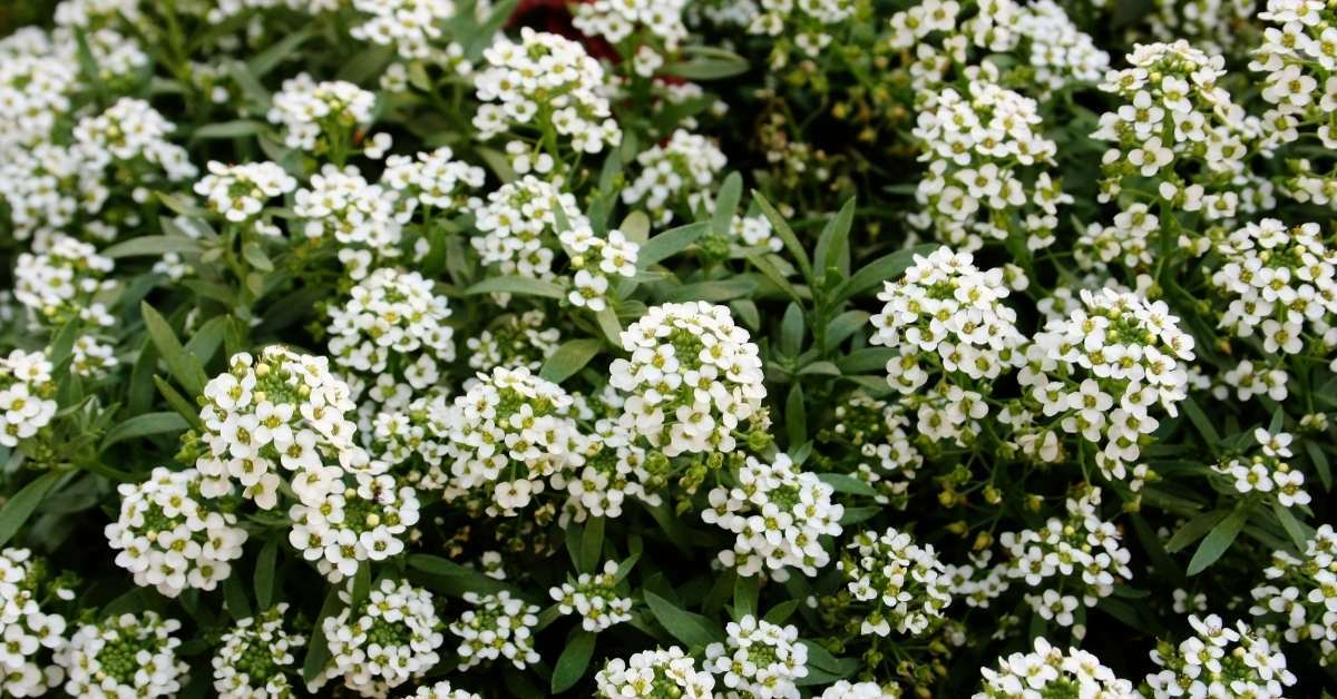 Sweet alyssum - Fragrant Flowers https://organicgardeningeek.com