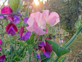 Most fragrant roses advice for gardening https://organicgardeningeek.com