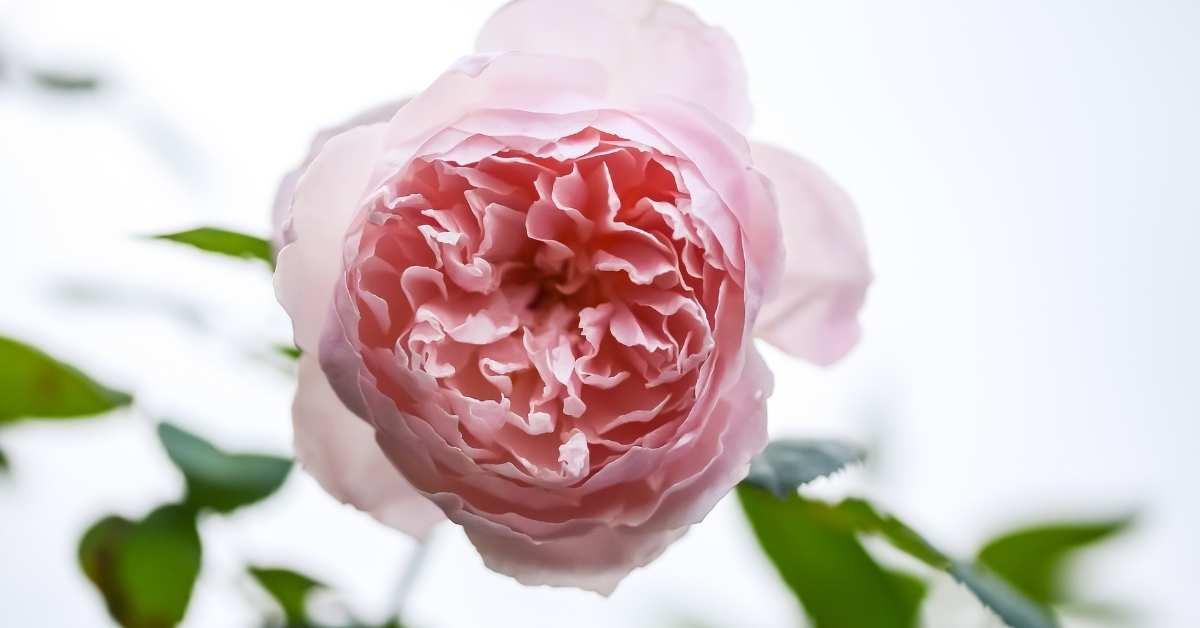 Hedge Rose - The Alnwick Rose https://organicgardeningeek.com