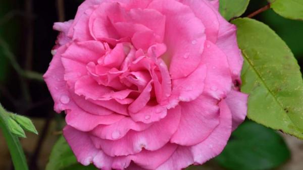 Zephirine Drouhin – Thornless Climber best thornless roses to plant https://organicgardeningeek.com