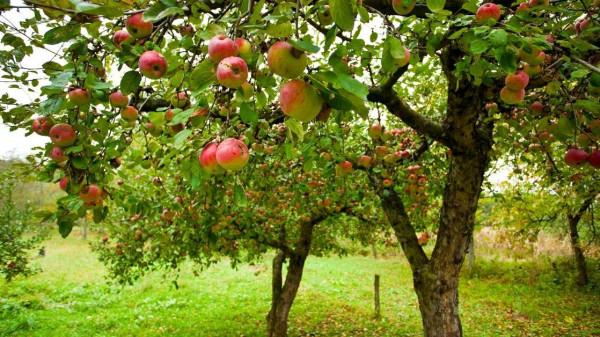 apple tree - All about sustainable and organic gardening tips and tricks. 2021 - garden design - https://organicgardeningeek.com/garden-designs/