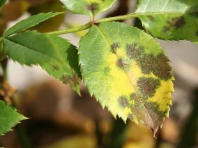 The black spot fungus on roses, how to detect and cure https://organicgardeningeek.com