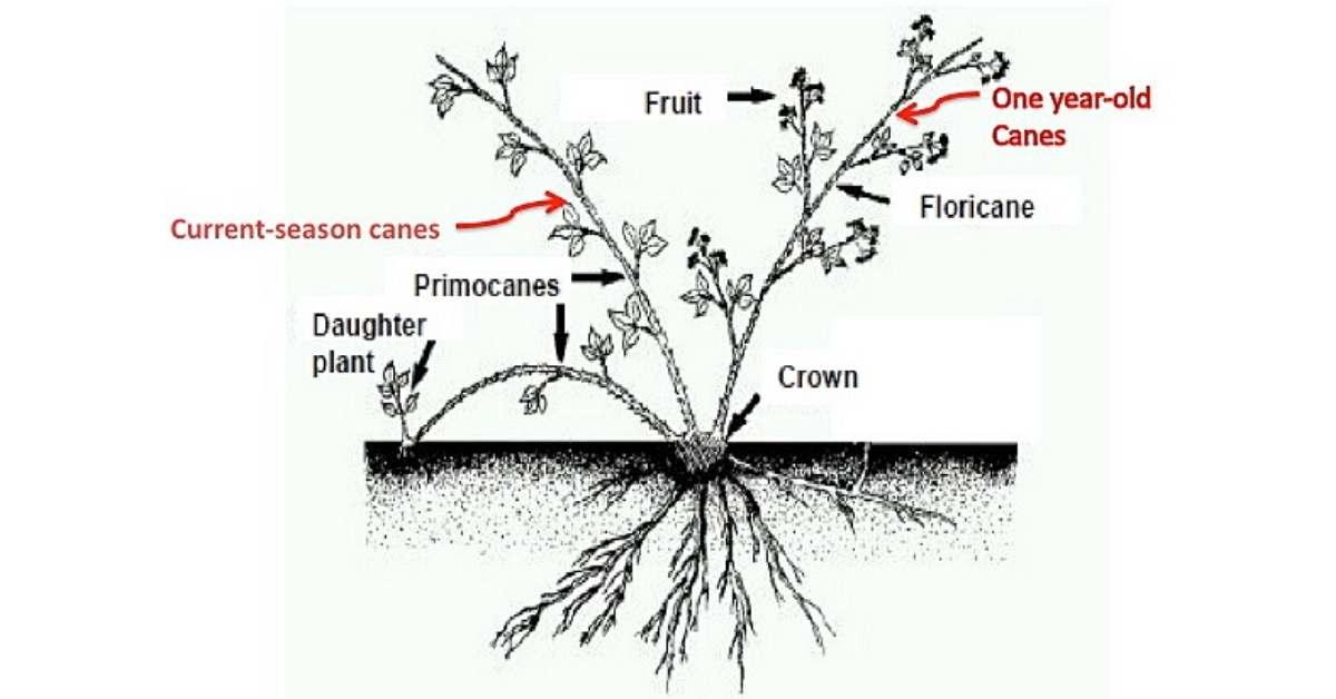 Blackberry cane - planting blackberry at home - Blackberry Soil Preparation https://organicgardeningeek.com