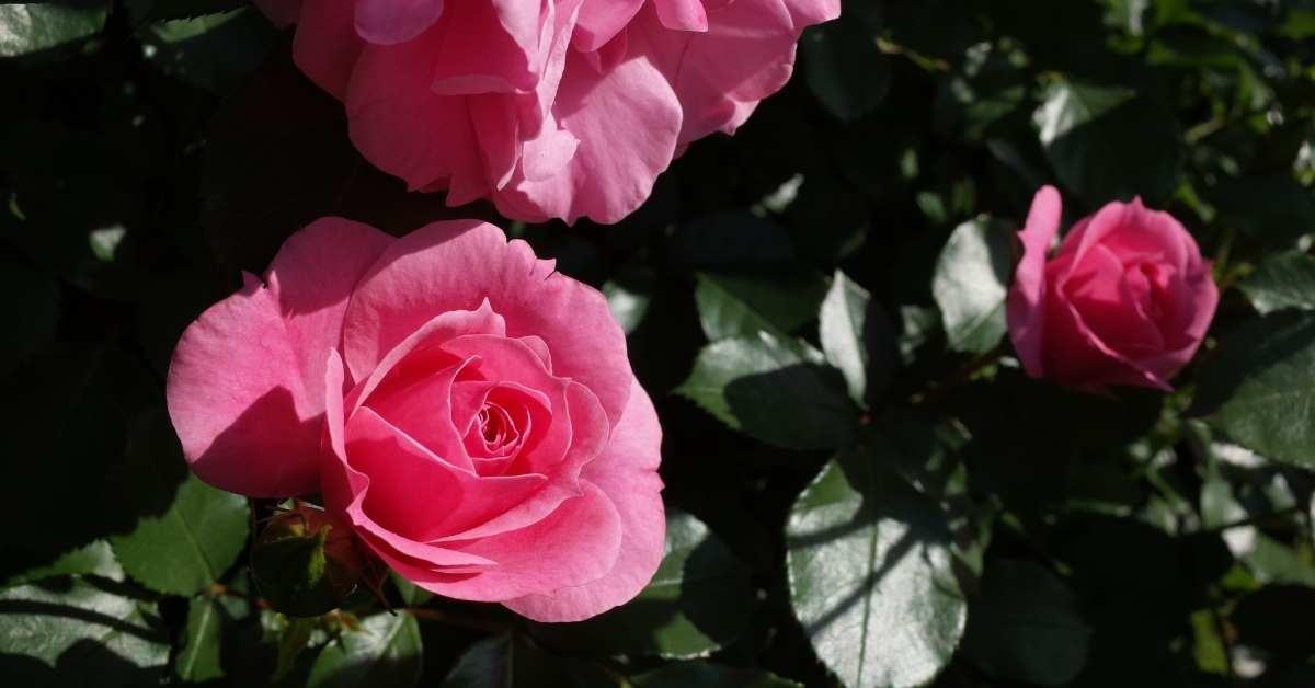 Bonica Rose Hedge - How To Make A Rose Hedge https://organicgardeningeek.com