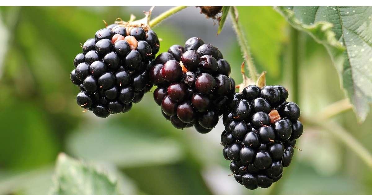 How To Grow Blackberry Plants Successfully in your garden or backyard https://organicgardeningeek.com