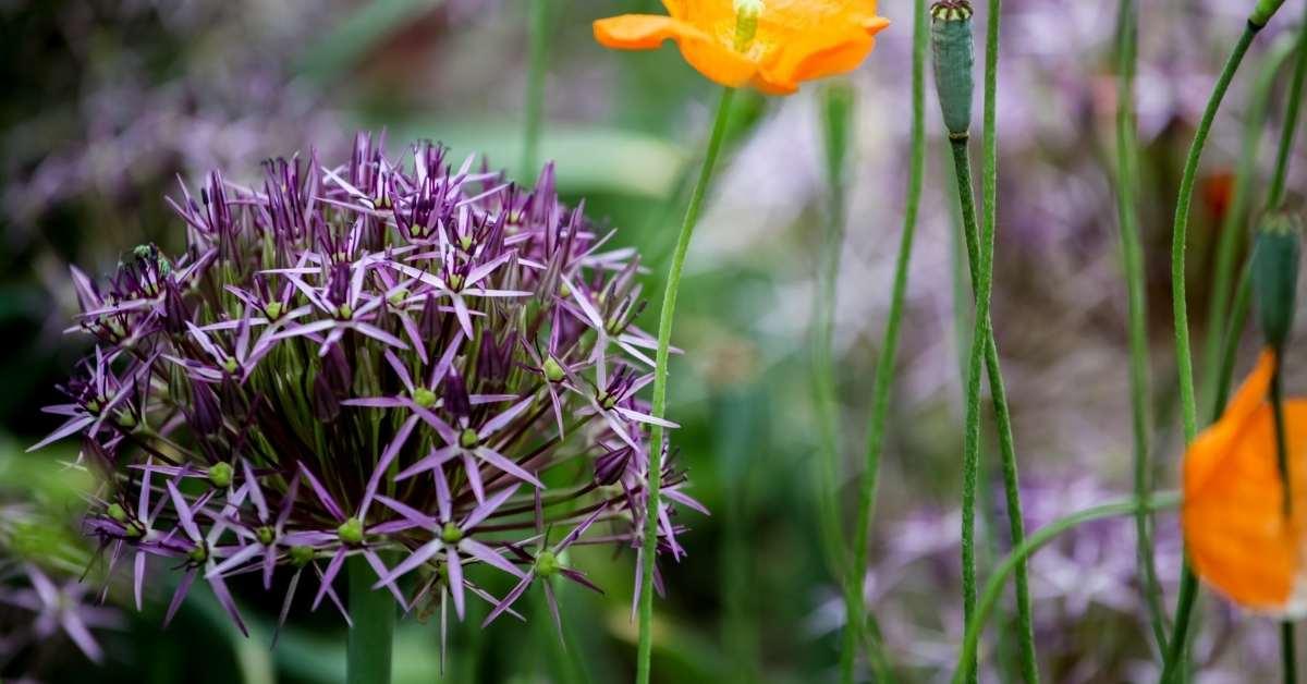 Christophii - Ornamental Onions: 5 Alliums You Can Grow in Your Garden https://organicgardeningeek.com
