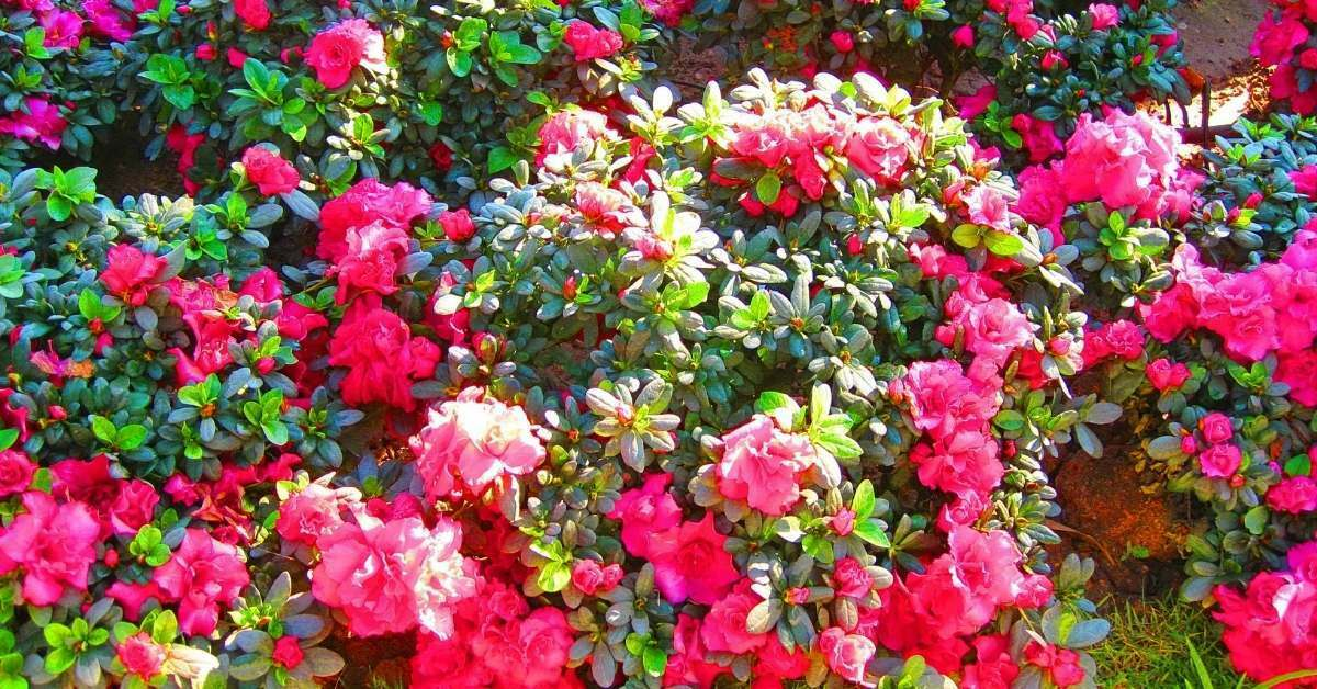 Rose plant care and tips https://organicgardeningeek.com