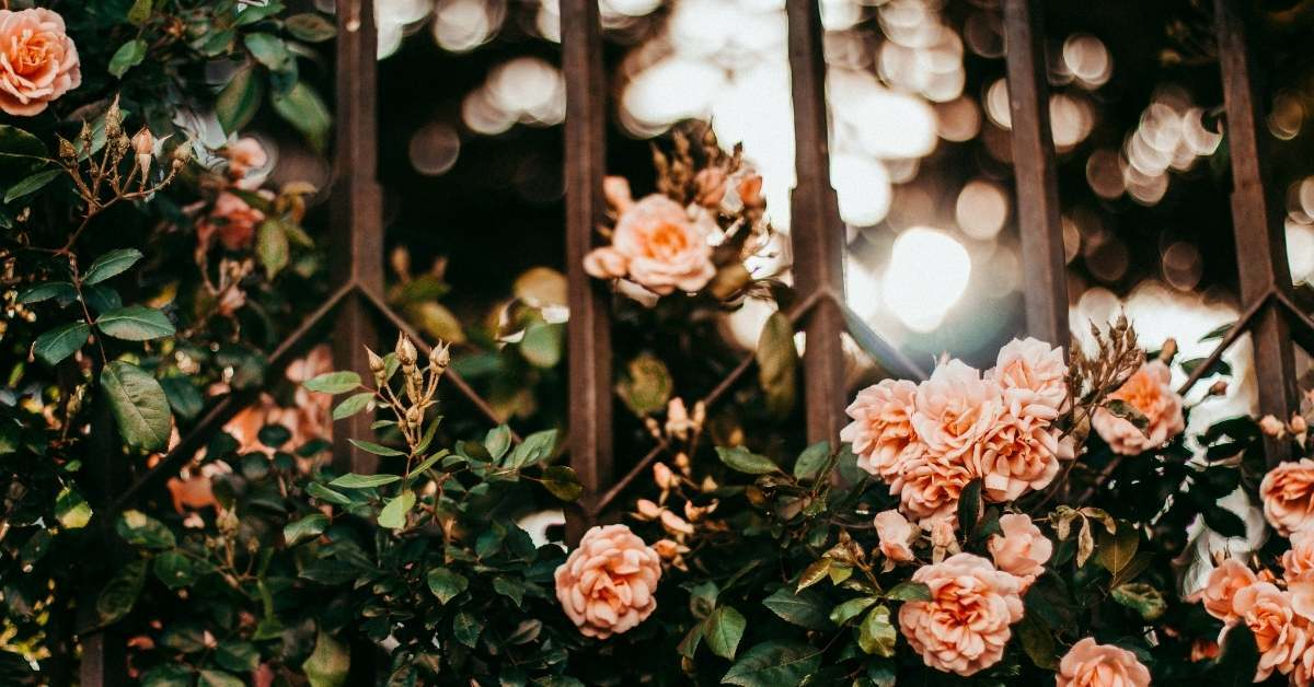 Climb rose grow and care tips https://organicgardeningeek.com