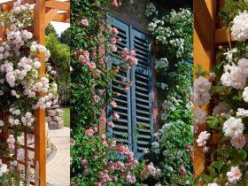 climber roses to grow https://organicgardeningeek.com