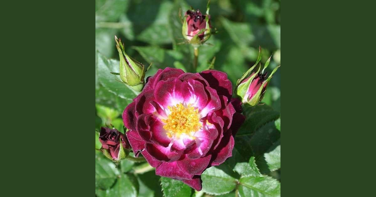 Miniature Roses in Pots - which miniature rases are best to grow? https://organicgardeningeek.com