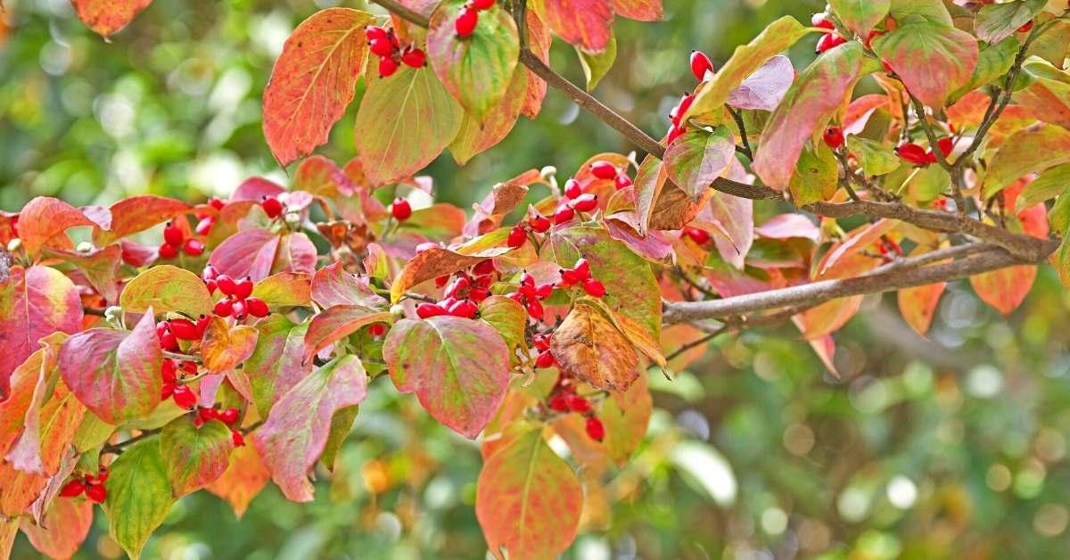 dogwood when to prune - What Is the Best Way to Prune a Flowering Dogwood Tree?https://organicgardeningeek.com