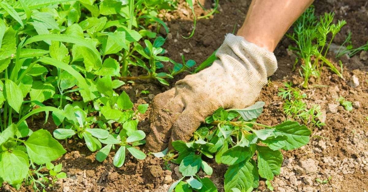 Edible weeds from your garden https://organicgardeningeek.com