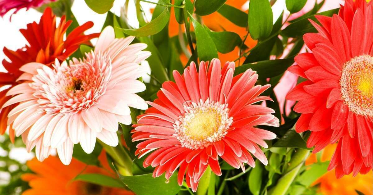 How to Grow Gerbera Daisies -  how to grow gerbera daisies from seed https://organicgardeningeek.com