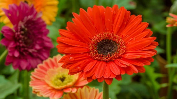 How to grow gerbera daisies at home in the pots and from the seeds https://organicgardeningeek.com