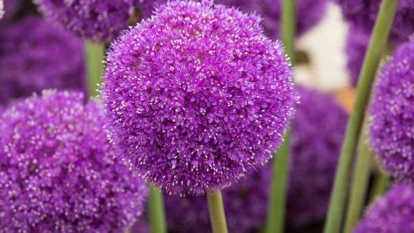 Ornamental onions to grow https://organicgardeningeek.com