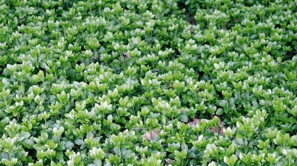 Perennial ground covers https://organicgardeningeek.com