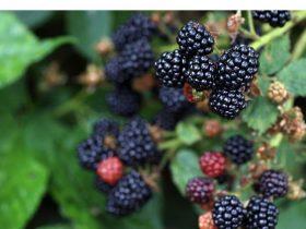 Growing and caring blackberries the complete guide https://organicgardenigeek.com