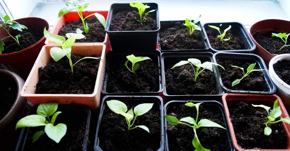 Growing Pepper Plants Indoors - When to Start Peppers Indoors https://organicgardeningeek.com