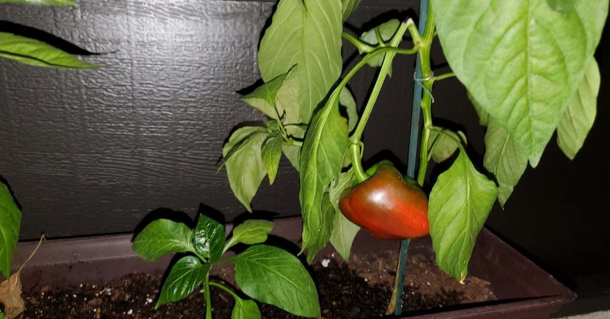 growing pepper indoor - All about sustainable and organic gardening tips and tricks. 2021 - Growing Pepper Plants Indoors,When to Start Peppers Indoors,pepper Lighting Requirements,pepper plants not growing,Humidity Requirements of Peppers - https://organicgardeningeek.com/growing-pepper-plants-indoors-101/