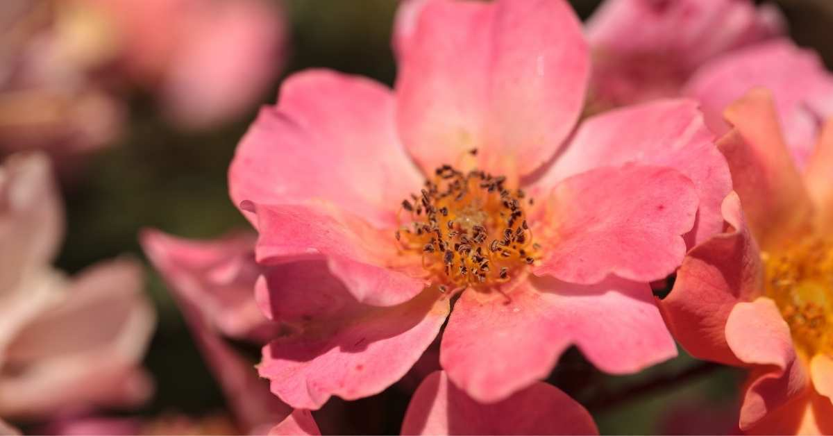 """""""Happy Chappy"""" Groundcover Rose -best roses for containers - 8 Best Roses For Containers https://organicgardeningeeek.com"""