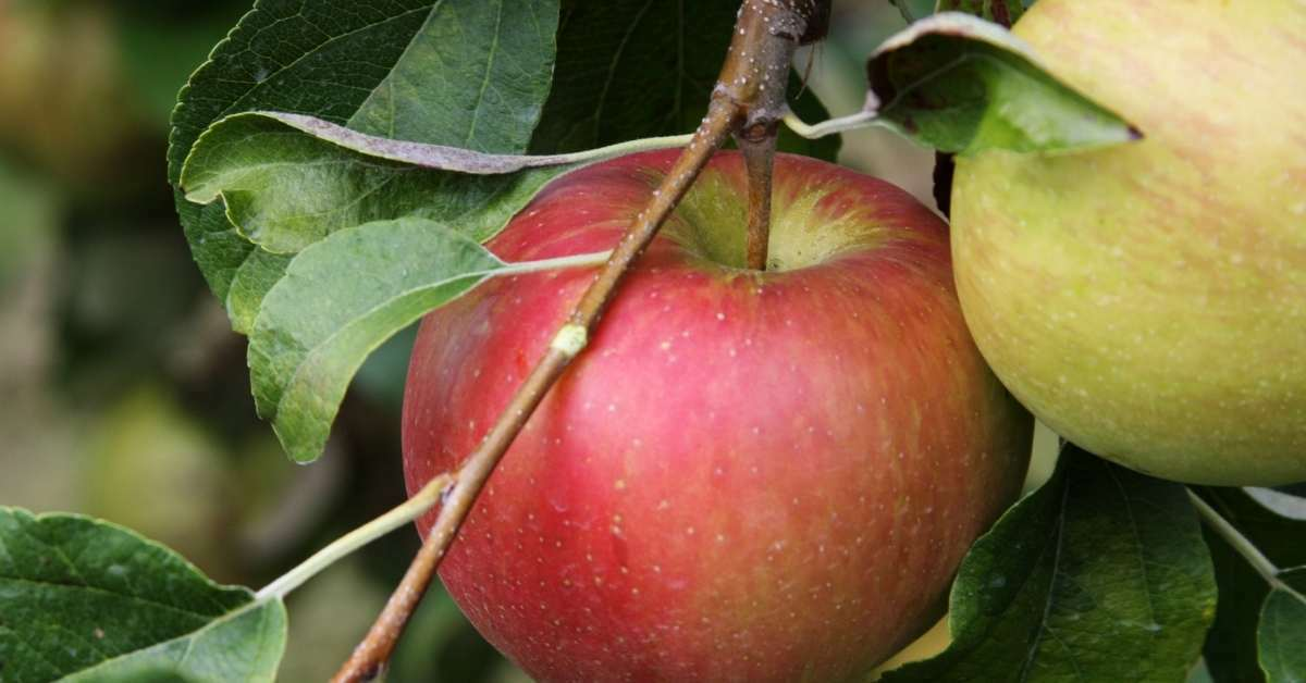honey crisps apples - All about sustainable and organic gardening tips and tricks. 2021 - Fruit and Nut Trees to Grow,zone 5 plants,how long does it take for a tree to grow,zone 9 perennials,zone 5 perennials - https://organicgardeningeek.com/zone-5-perennials-fruit-and-nut-trees-to-grow/