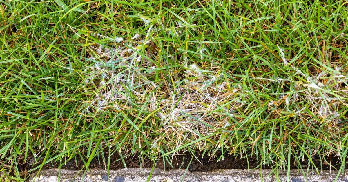 lawn fungus 3 - All about sustainable and organic gardening tips and tricks. 2021 - lawn fungus,white cotton like fungus on lawn,lawn fungus control,lawn fungus pictures,white fungus on lawn - https://organicgardeningeek.com/how-to-rid-your-yard-of-lawn-fungus/