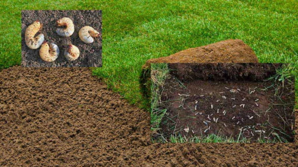 Lawn groubs how to kill and get rid of them https://organicgardeningeek.com