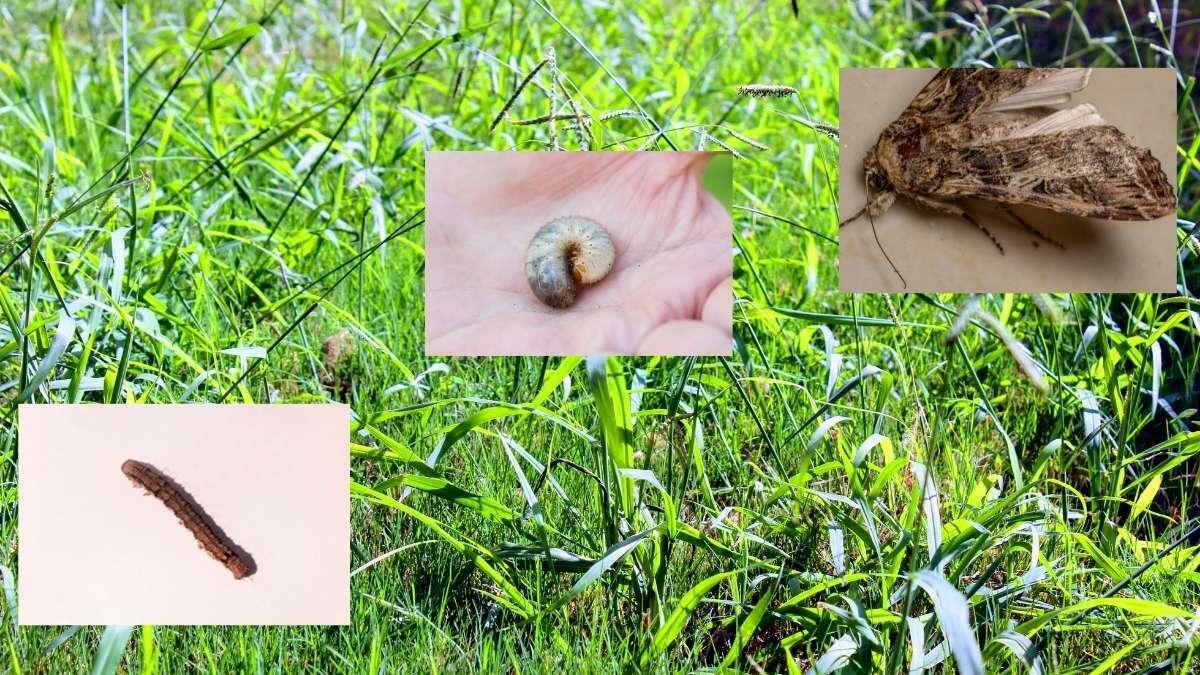 Lawn pest and diseases https://organicgardeningeek.com
