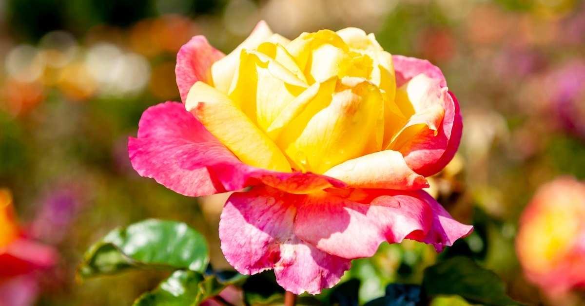 which hybrid tea roses are bedt to grow? https://organicgardeningeek.com