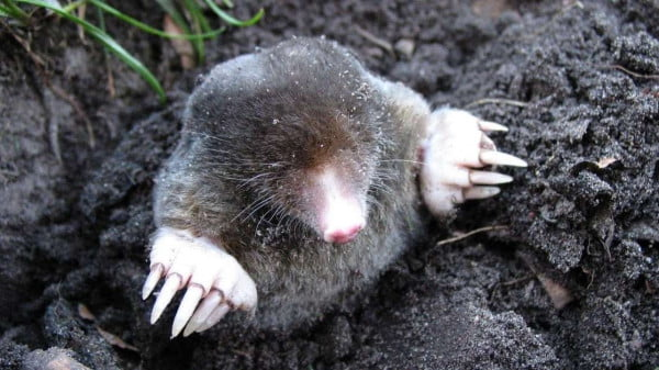 how to get rid og moles in the yard https://organicgardeningeek.com