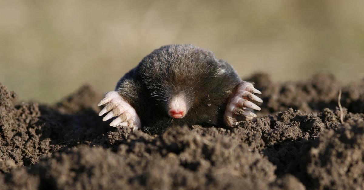 repel moles in your lawn - lawn mole control https://organicgardeningeek.com