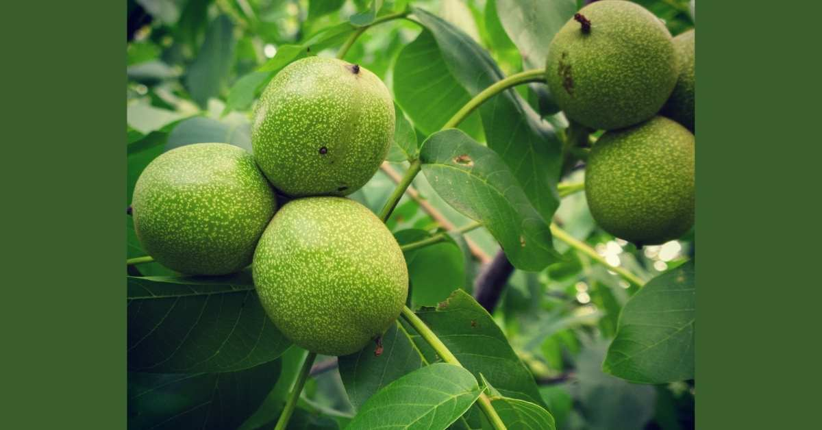 Walnut fruits