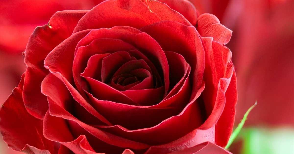 Red fragrant roses - opening night - henry rose fragrantica https://organicgardeningeek.com