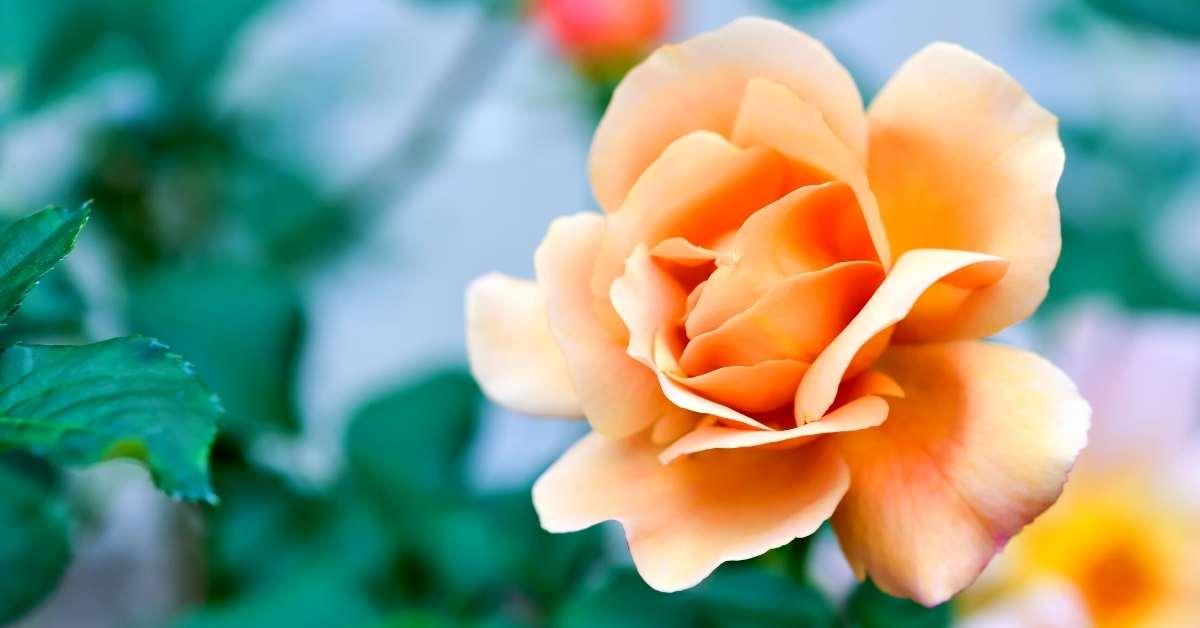 Orange roses - best fragrant roses by color - fragrant cloud rose https://organicgardeningeek.com