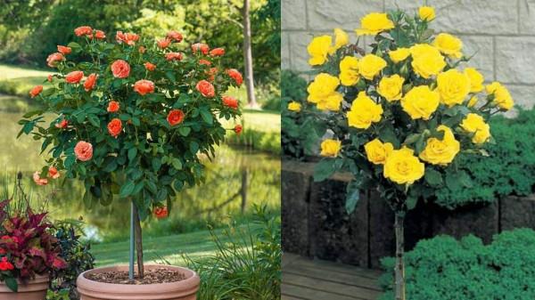 patio tree roses best pick for your garden https://orgaanicgardeningeek.com