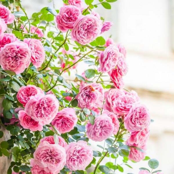 What is the best way to care rose shrubs https://organicgardeningeek.com
