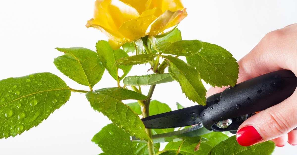 pruning climb roses in your garden https://organicgardeningeek.com