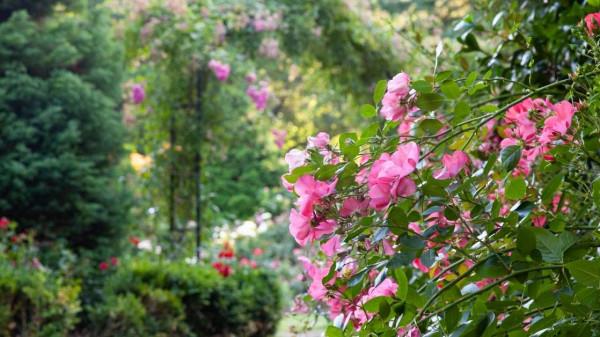 rose garden care tips https://organicgardeningeek.com