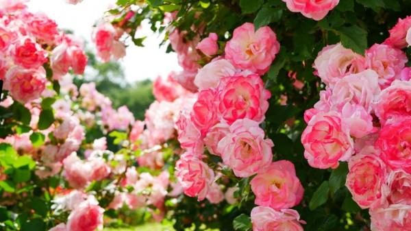 Orcanic rose gardening - Planting and growing roses - https://organicgardeningeek.com