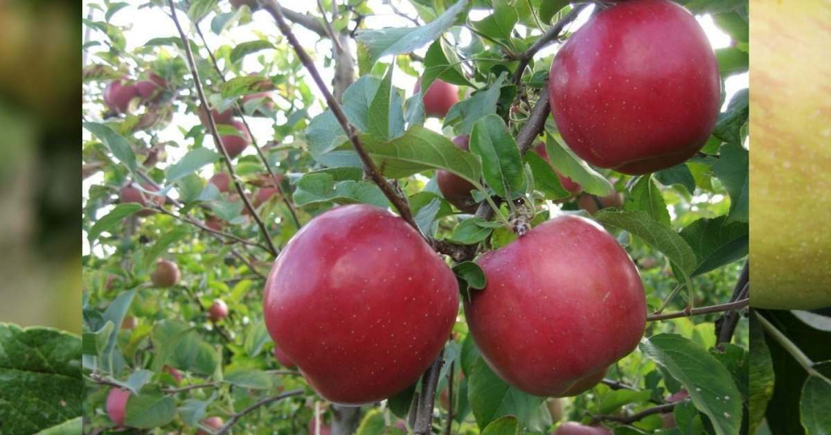 how long does it take for a tree to grow ? Apple trees https://organicgardeningeek.com