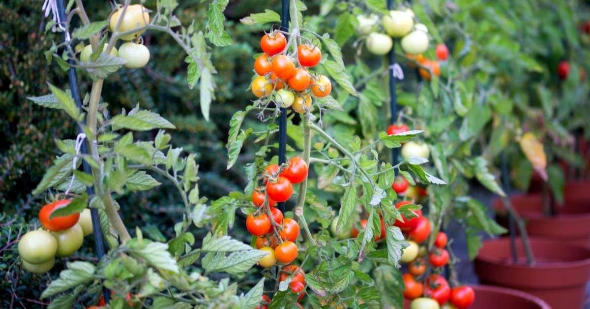 baking soda around base of tomato plants - baking soda tomato fungicide- https://organicgardeningeek.com