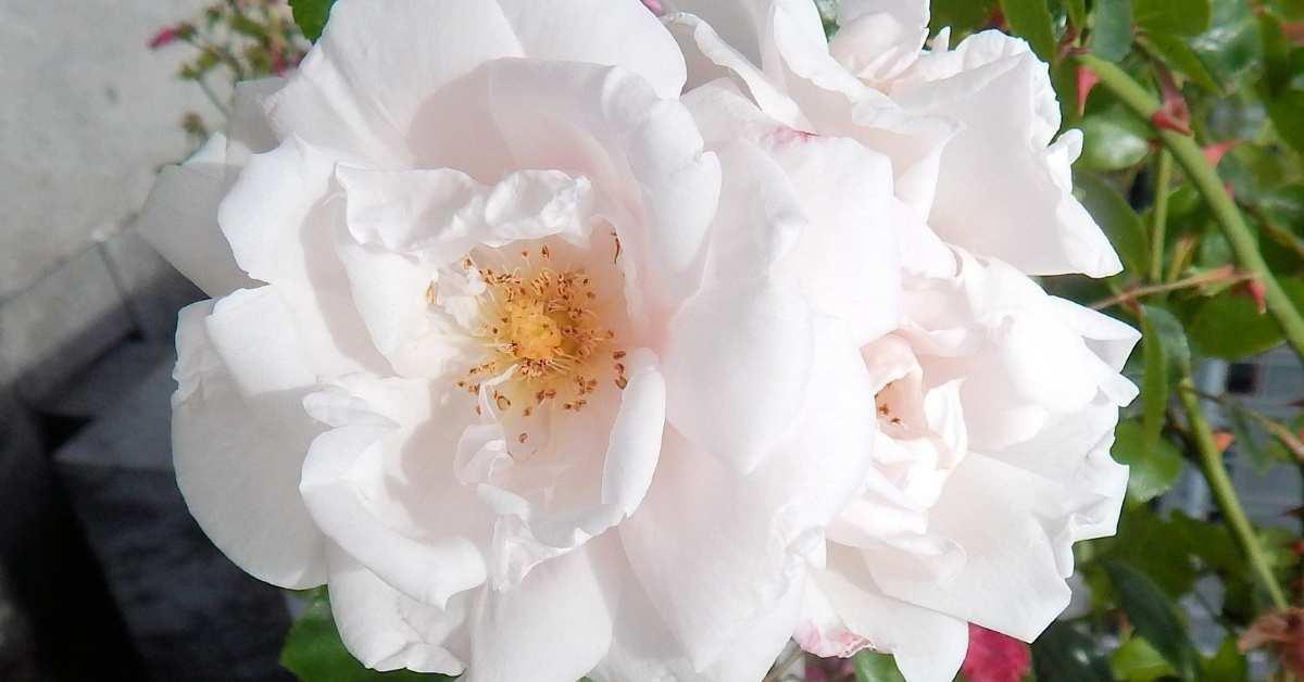 White roses - fragrant rose collection costco https://organicgardeningeek.com