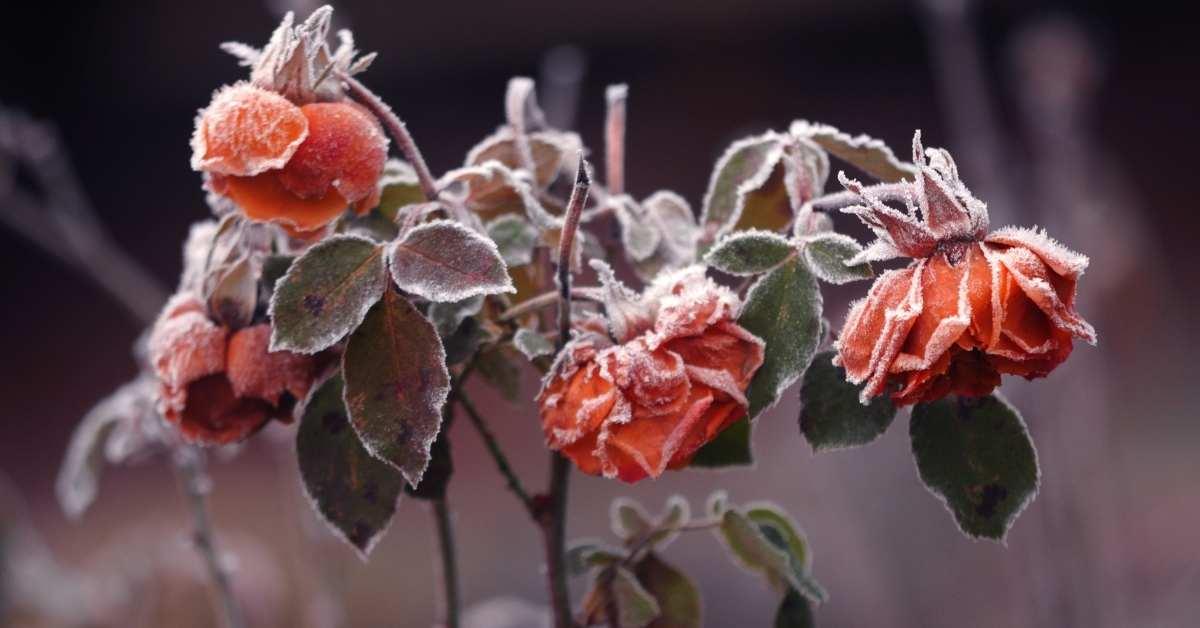 Winterized Rose - How to Winterize Roses?   https://organicgardeningeek.com