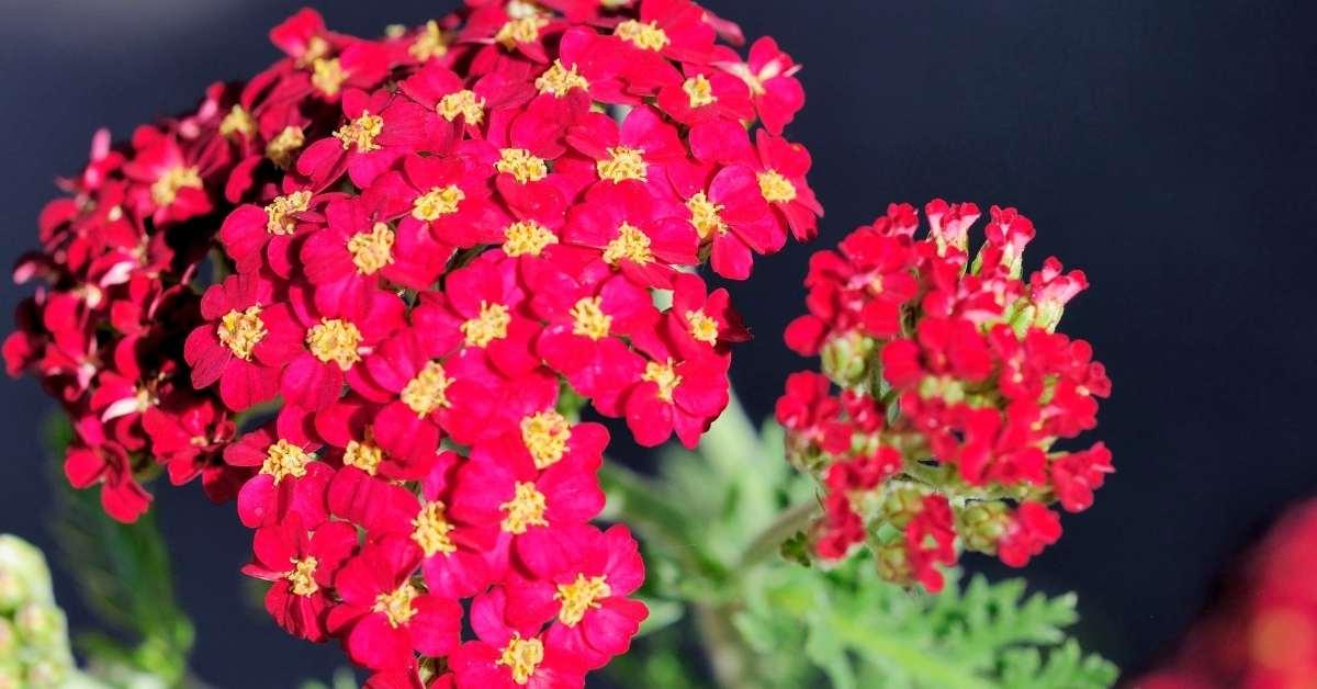 Red Velvet Achillea millefolium flowers https://organicgardeningeek.com